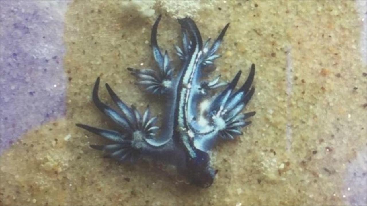 46℃の熱波でコウモリ大量死、海に逃げた市民をアオミノウミウシの毒針が襲う