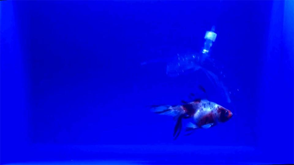 水中だとほぼ見えない。泳ぐ魚をスッと捕獲できるハイドロジェルロボット、MITが開発