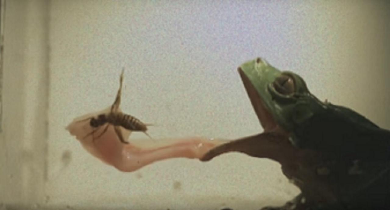 カエルが舌で獲物を捕まえる瞬間、唾液の粘度が変化する