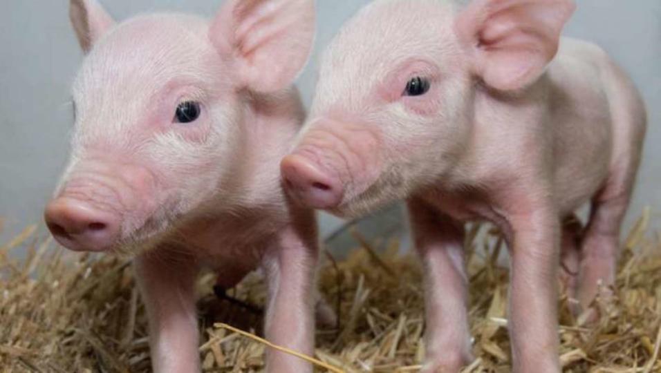 CRISPR-Cas9で遺伝子操作された豚なら、数十億ドルの被害をもたらすウイルスを防げるかも