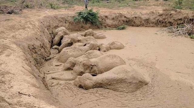 まるで巨大なデス・トラップ…! ゾウの群れがドロ沼にはまって動けなくなるが、救出に大成功!