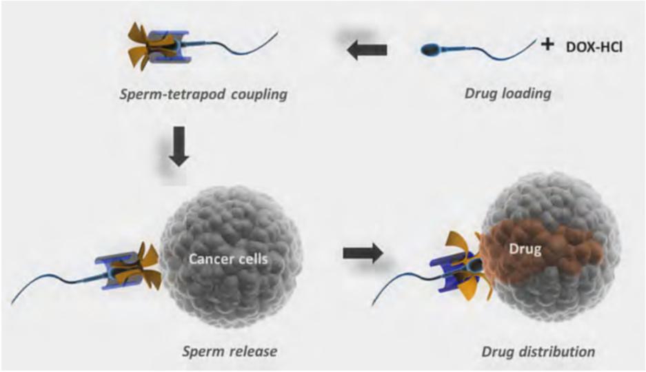 「精子ロボット」が薬をはこんで、生殖器官のがん細胞を治療しにいきます