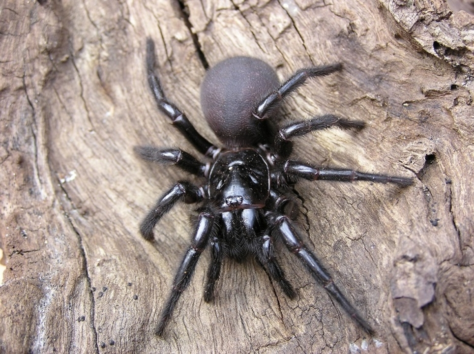 脳卒中の特効薬になるかもしれないのは、クモの「猛毒」