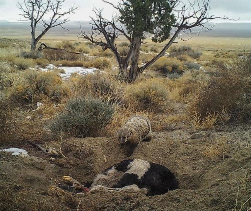 アナグマが牛を埋めて数カ月食べ続ける貴重映像