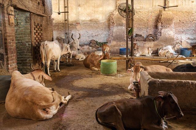 20170518_india_cow2_r.jpg