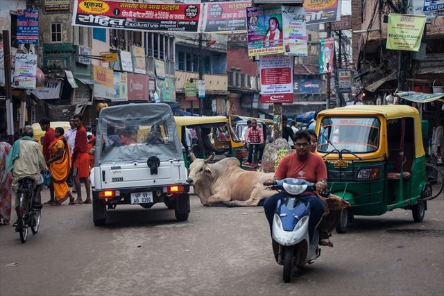 20170518_india_cow3_r.jpg