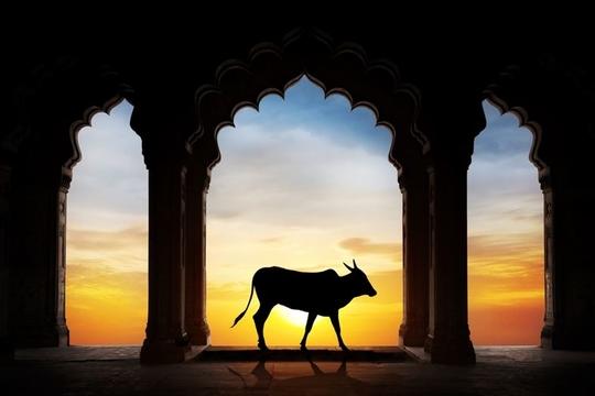 世界初? インドで牛専用の救急車デビュー! いっぽう、牛の崇拝が強まる影で起きる問題とは