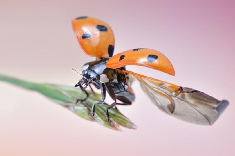 てんとう虫の羽の構造の研究で雨傘が進化するかも?