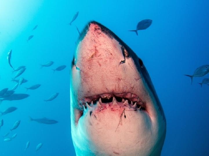シャチがサメを食べ始めている