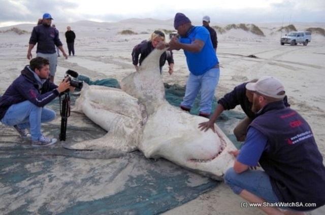 1 シャチがサメを食べ始めている