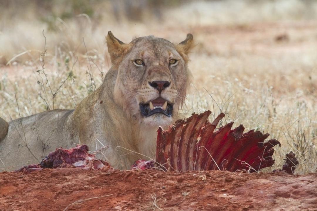 ツァボの人食いライオンが人間を襲った、意外な理由