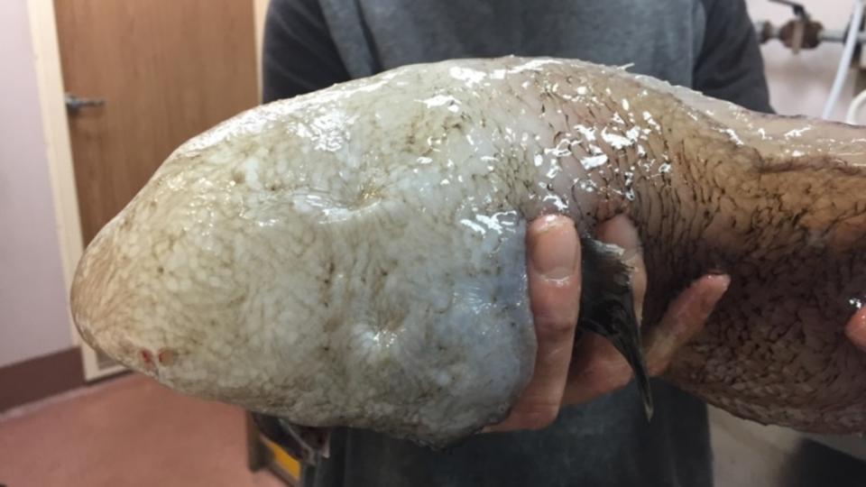 「顔のない魚」とよばれた深海魚、じつは目がありました