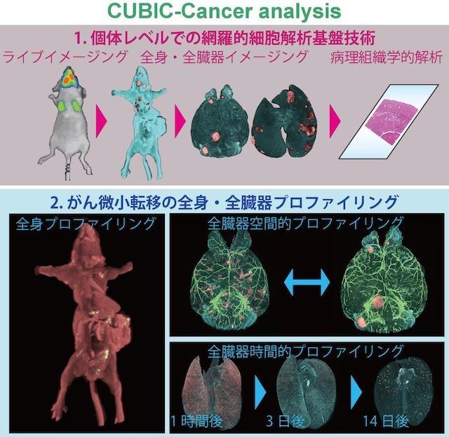 1細胞レベルでガンの転移が確認できる。東大と理研が新技術を開発