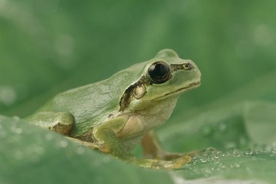 カエルは白亜紀最強のサバイバリスト? 隕石も地殻変動もケロリ
