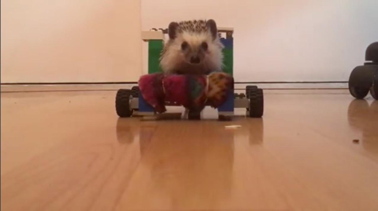 前足が自由に動かせないハリネズミ、レゴの車椅子で歩けるように