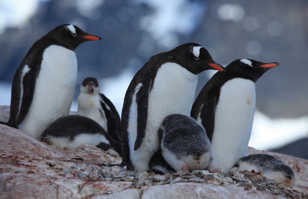 20170908gizmodo_gentoo_penguins