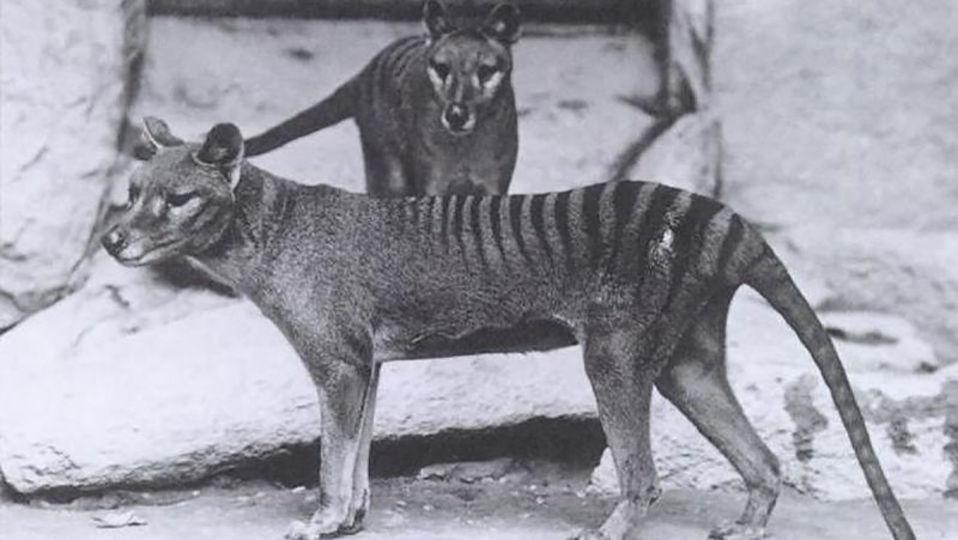 タスマニアタイガーが絶滅したのは気候変動のせいだった?