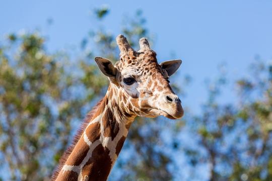 キリンの首はなぜ長いの?キリンの赤ちゃんはどうやって産まれるの?