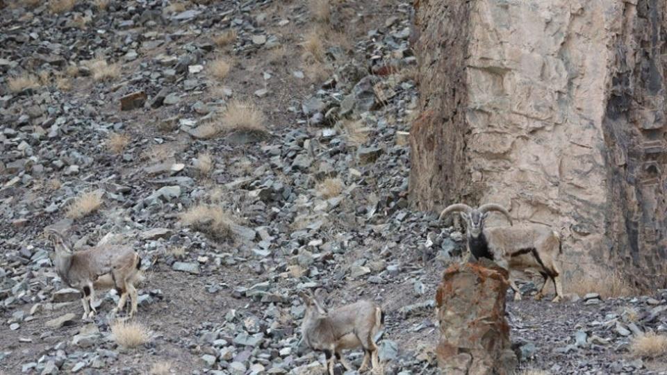 この写真の中にユキヒョウが隠れています。さて、どこでしょう?