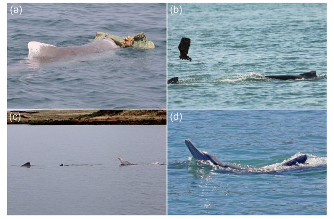 171130_male_humpback_dolphins_gather_gifts_to_get_laid_3