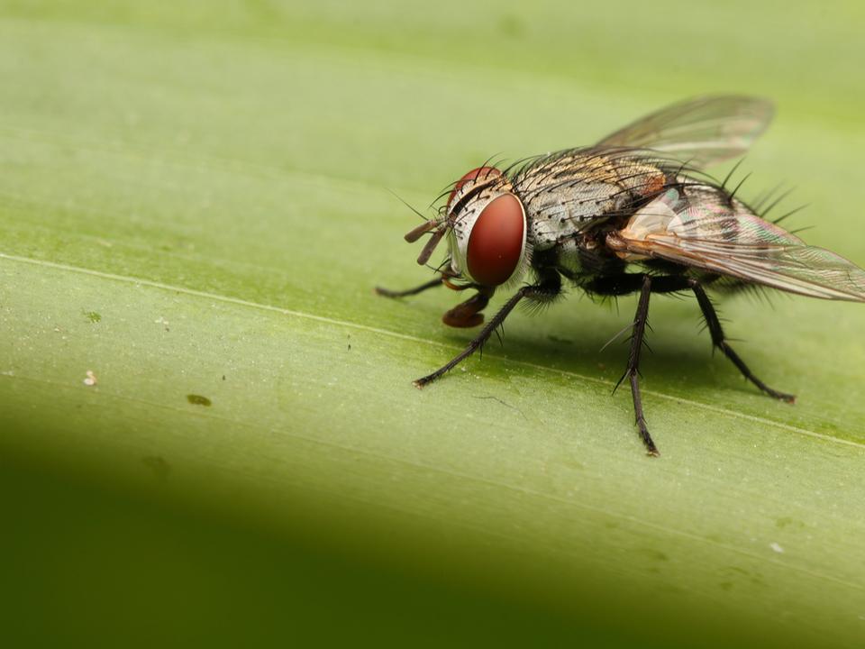 私たちが思っていたより、ハエは病原菌を運んでいた