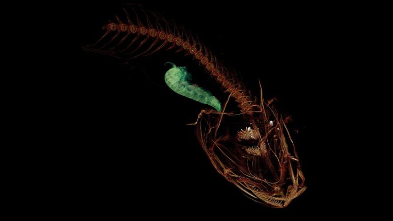 かわいい? ちょっとグロい? 新たに発見された地球最深の海底に住む深海魚