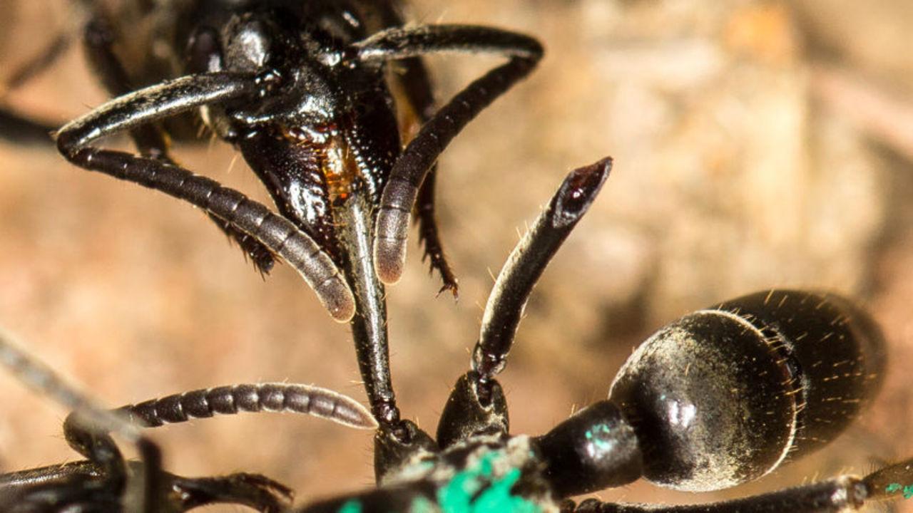 サハラ砂漠のアリ、優先順位をつけて仲間を救助することが明らかに