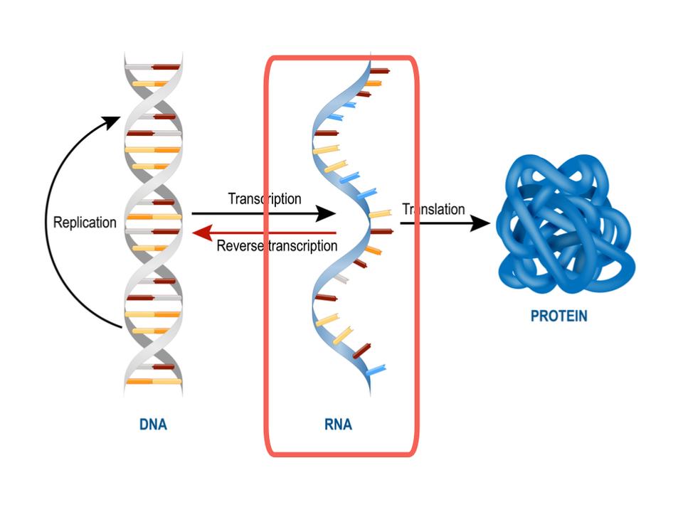 遺伝子編集、最先端はDNAではなくRNAの編集へ。より繊細かつ一時的な調整が可能に