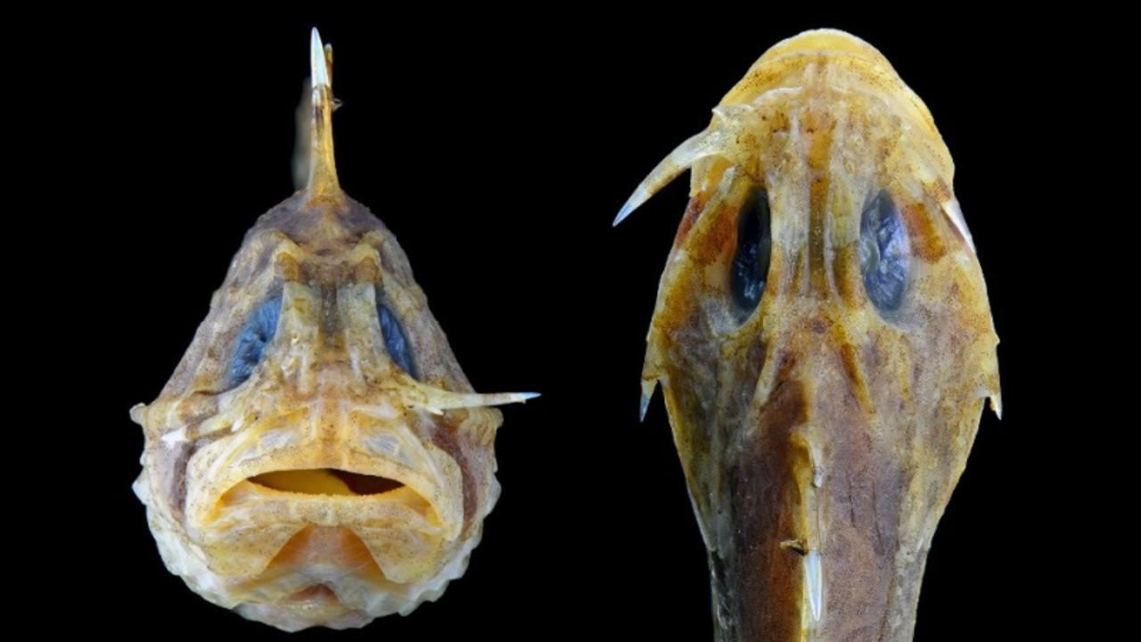 「チャキーン」と、飛び出す刃物のような骨を隠し持つ魚