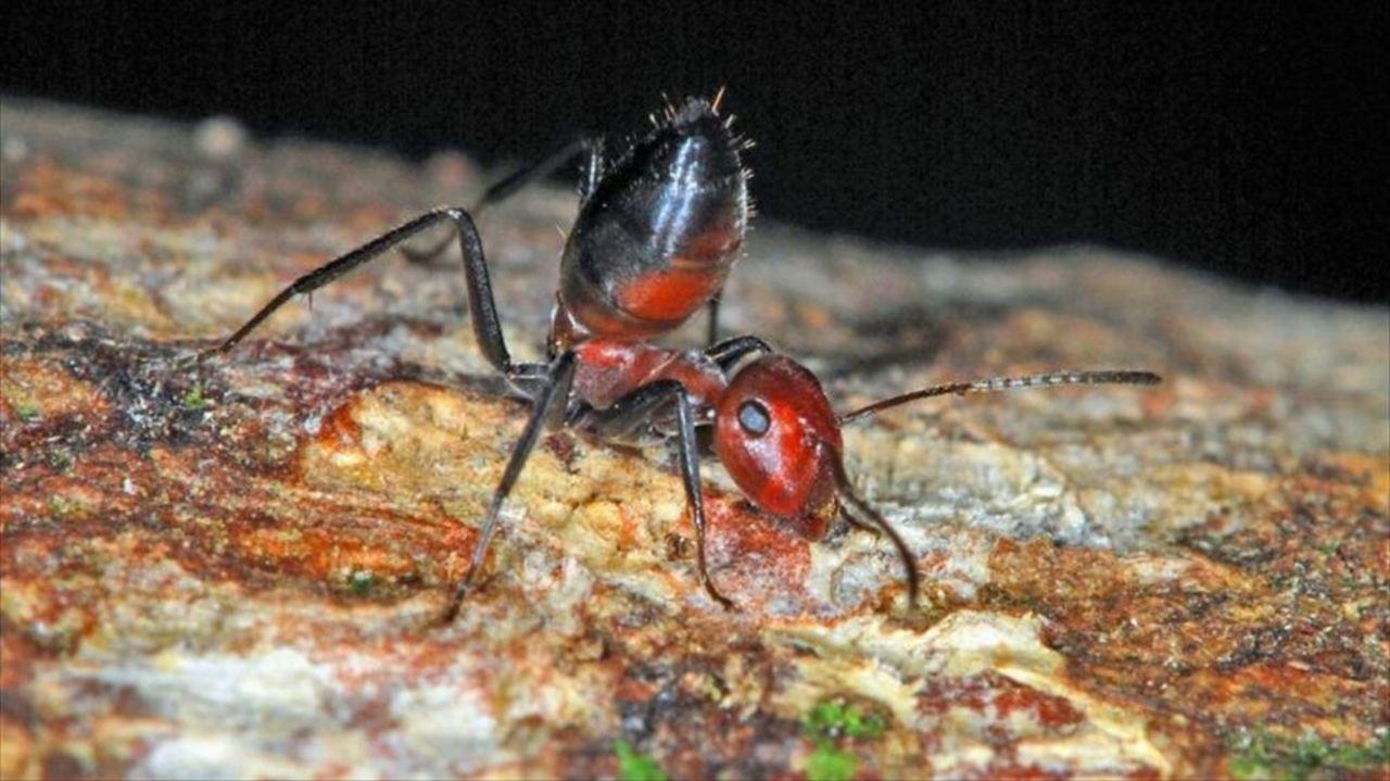 自爆するアリの新種がみつかる  ...
