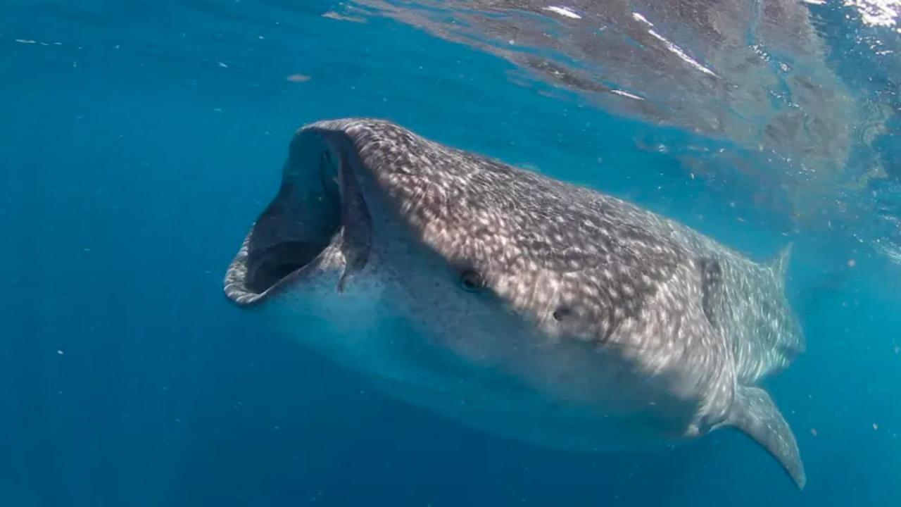 ジンベイザメの寿命は...なんと130歳。新研究で判明