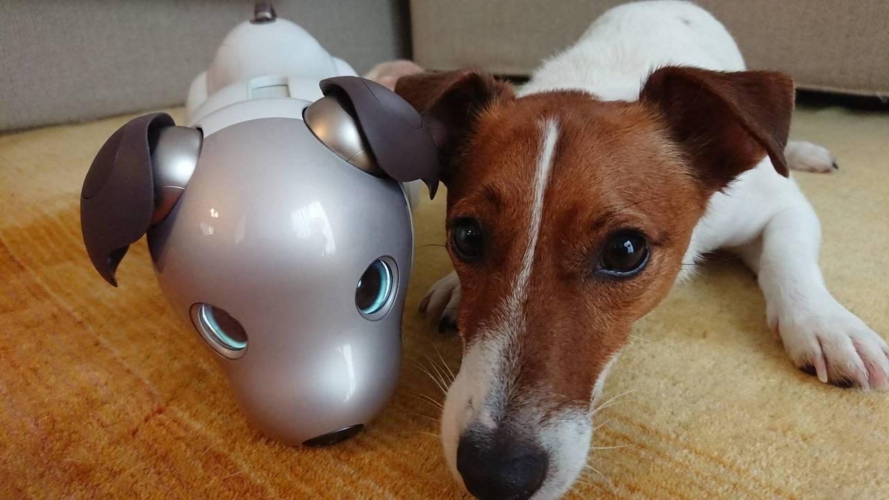 aibo、犬からもフレンズ認定される