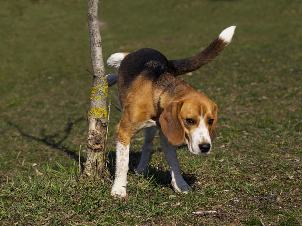 犬もウソをつく! 高い位置にマーキングして体を大きく見せたがるらしい