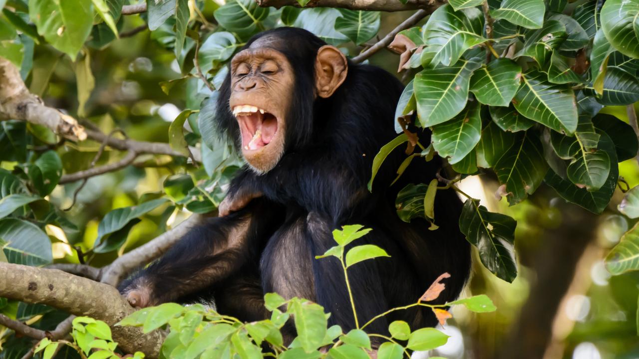 赤ちゃんの笑い方はチンパンジー流だ(ステキ)