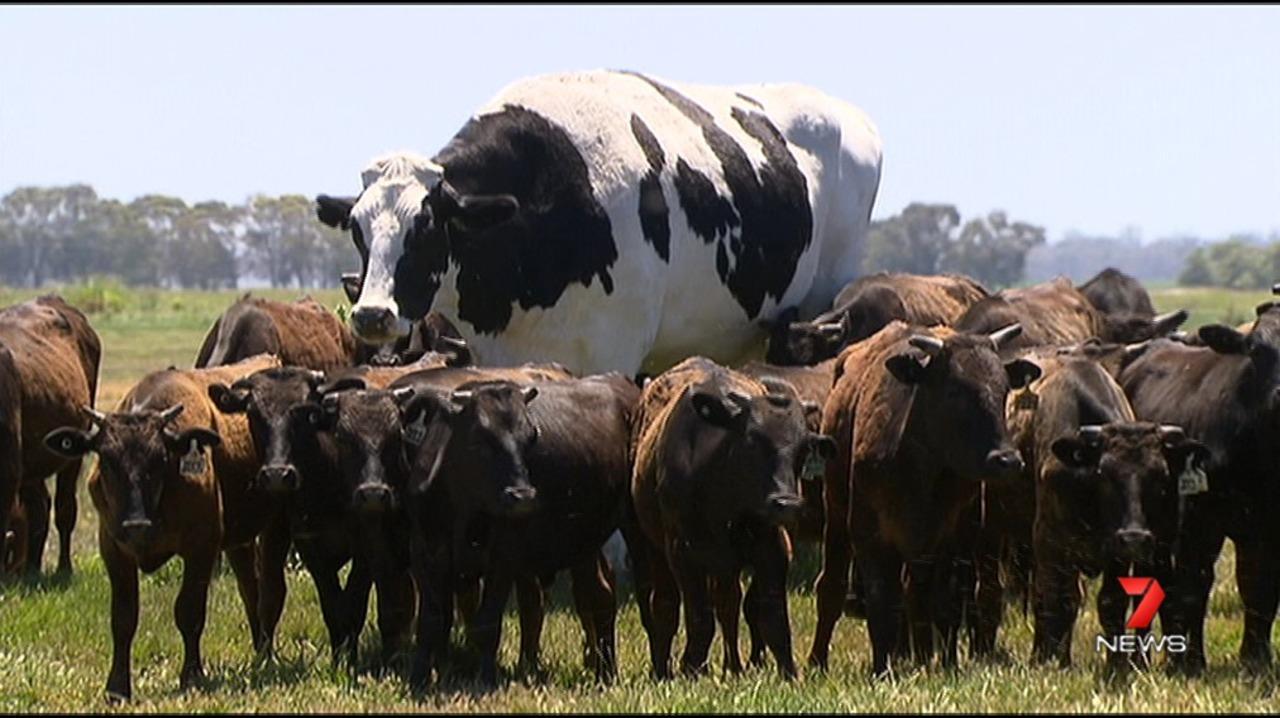 デカ過ぎて精肉できない…豪州で作画崩壊レベルに巨大な牛がみつかる