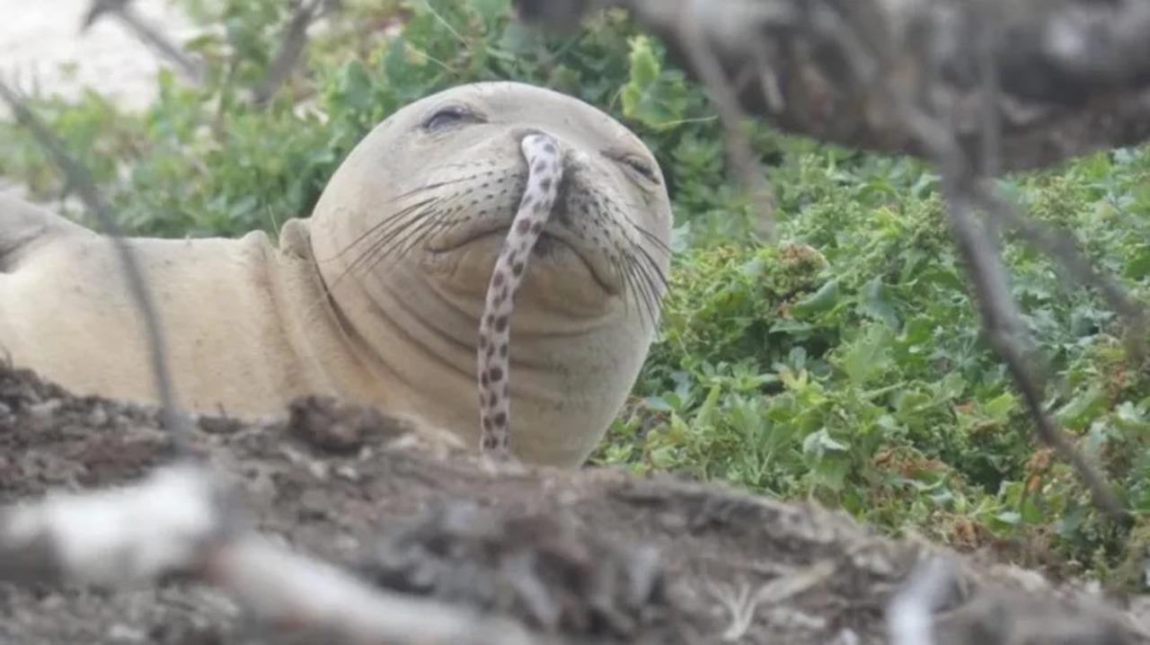 新たな流行? ハワイのアザラシ界に巻き起こる「鼻ウナギ現象」