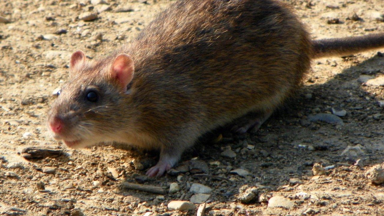 ワシントンDCでネズミが大量発生。繁殖力/適応力共に天才的