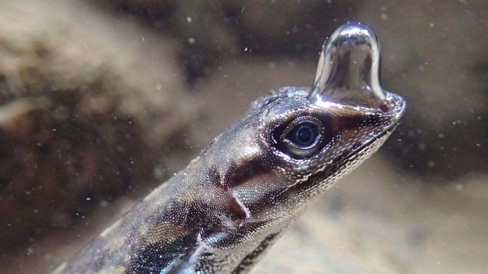 空気をまとって潜水できるトカゲを激写。水中で「呼吸」してます