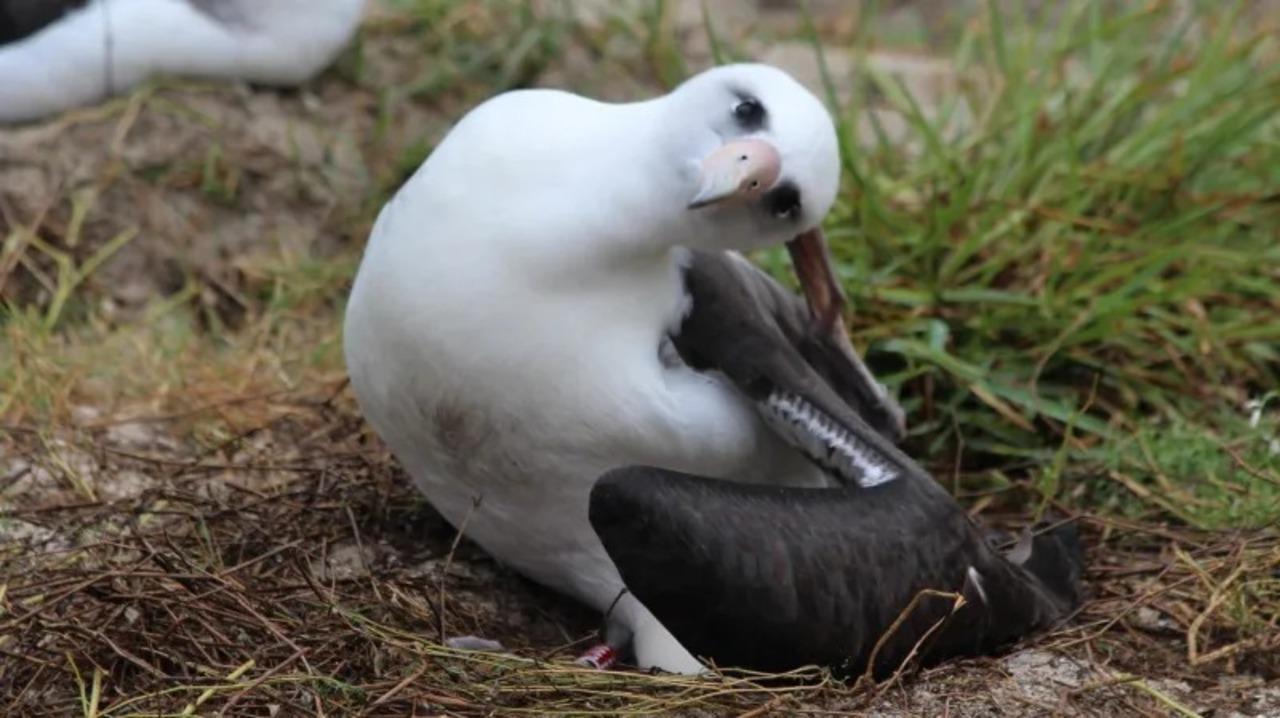 世界最高齢のコアホウドリ、68歳で産んだ卵からヒナがかえる