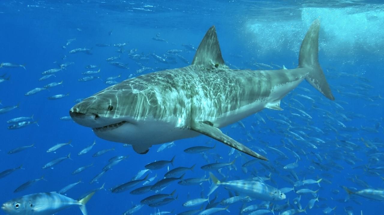 ホホジロザメが生き長らえる理由は、半端ないDNA修復力