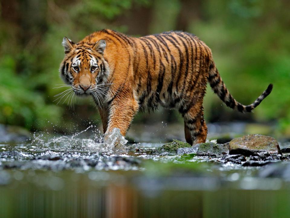 未登録の「飼いトラ」が数千頭...米テキサス州のペット事情が闇