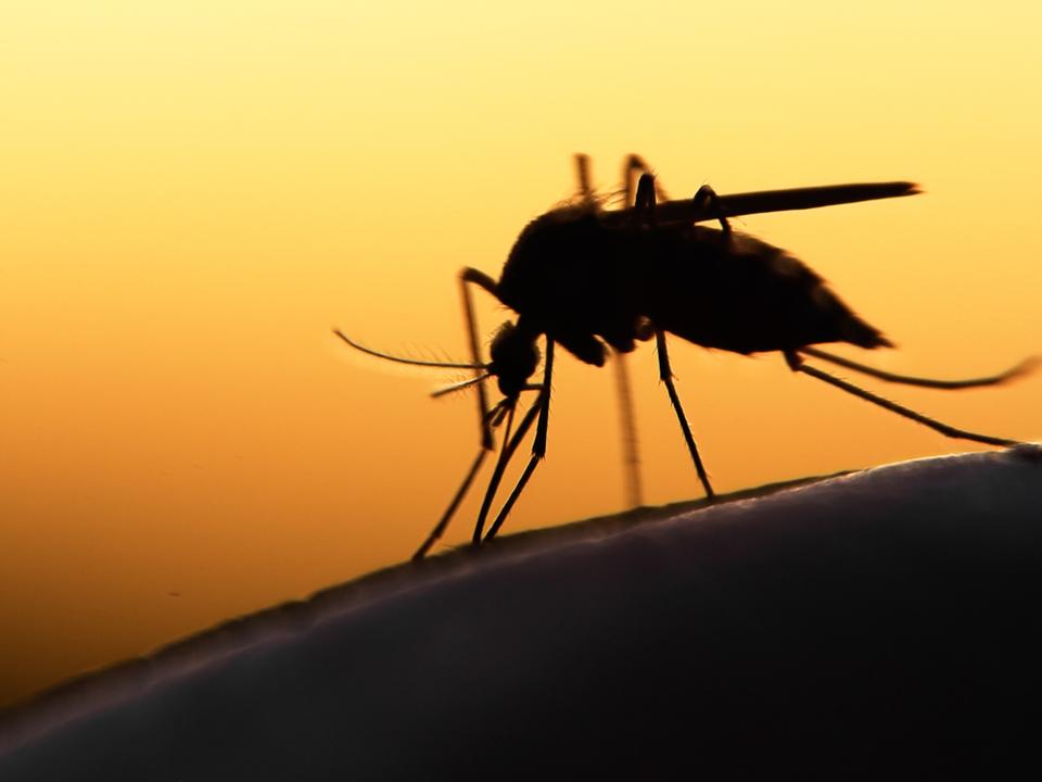 人間用のダイエット・サプリが蚊の食欲も抑制するかも!?