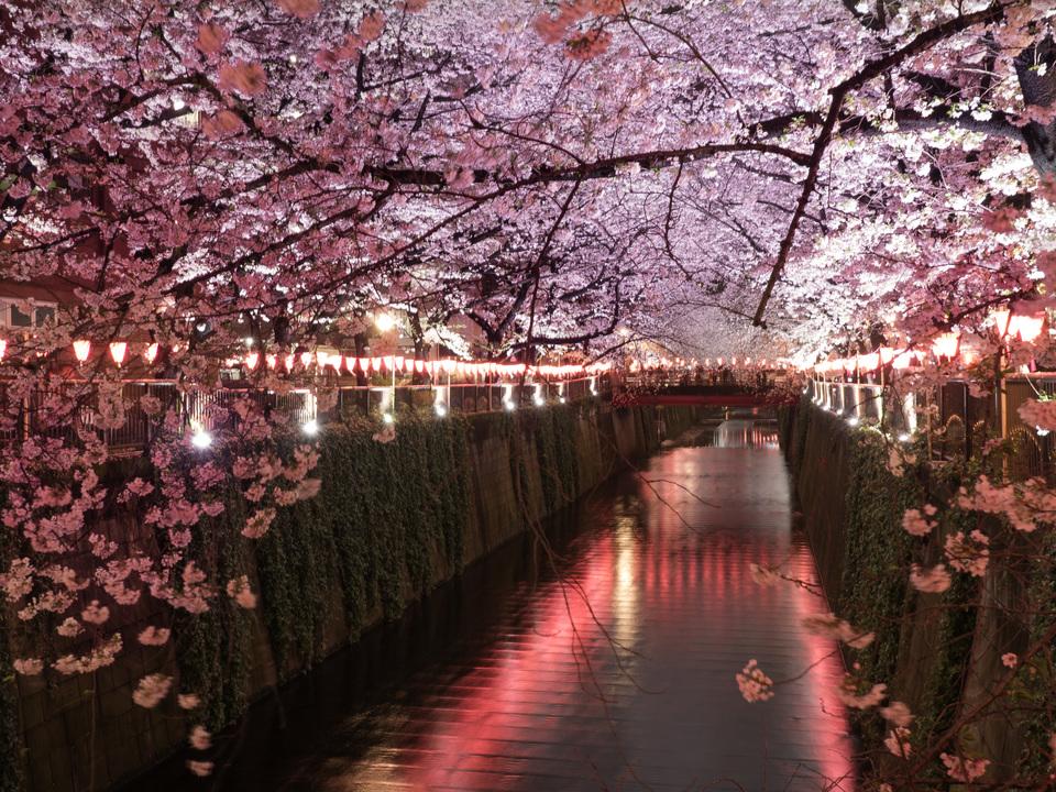 「第七回桜開花予想」が発表。都内は今週末に満開へ