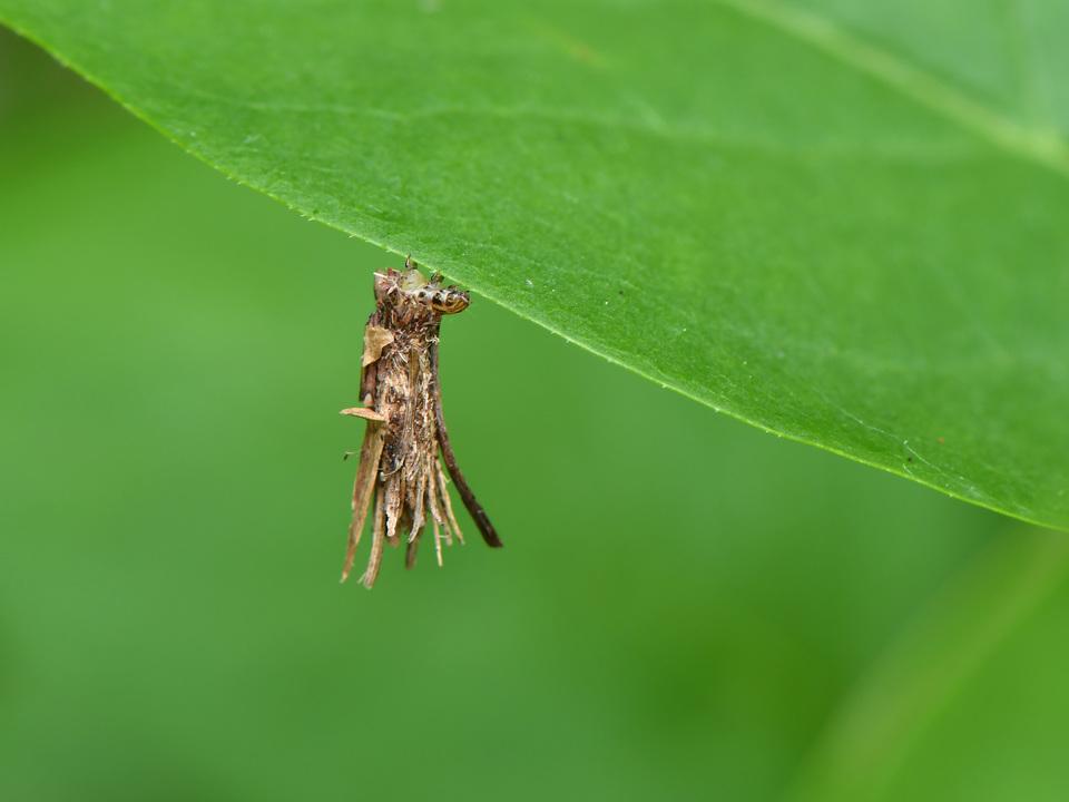 クモの糸よりも頑丈な天然繊維が発見される。それは…ミノムシの糸?