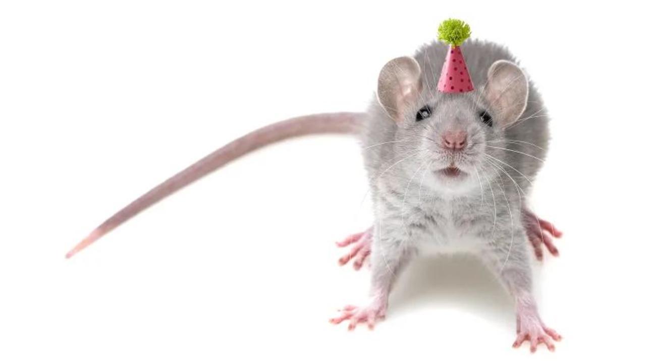 老化とともに高まる孤独を好む傾向、エクスタシーが思春期のような社交性をもたらす。マウス実験で判明