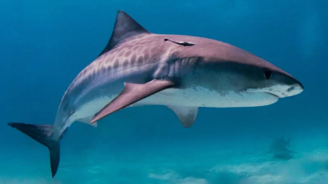 海中に住むサメのお腹の中から渡り鳥が見つかった理由