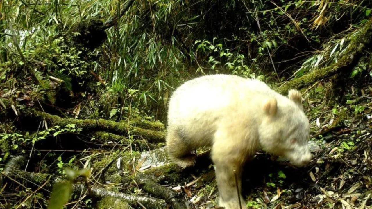 真っ白のパンダ。「アルビノ」のパンダの姿がカメラに捉えられました
