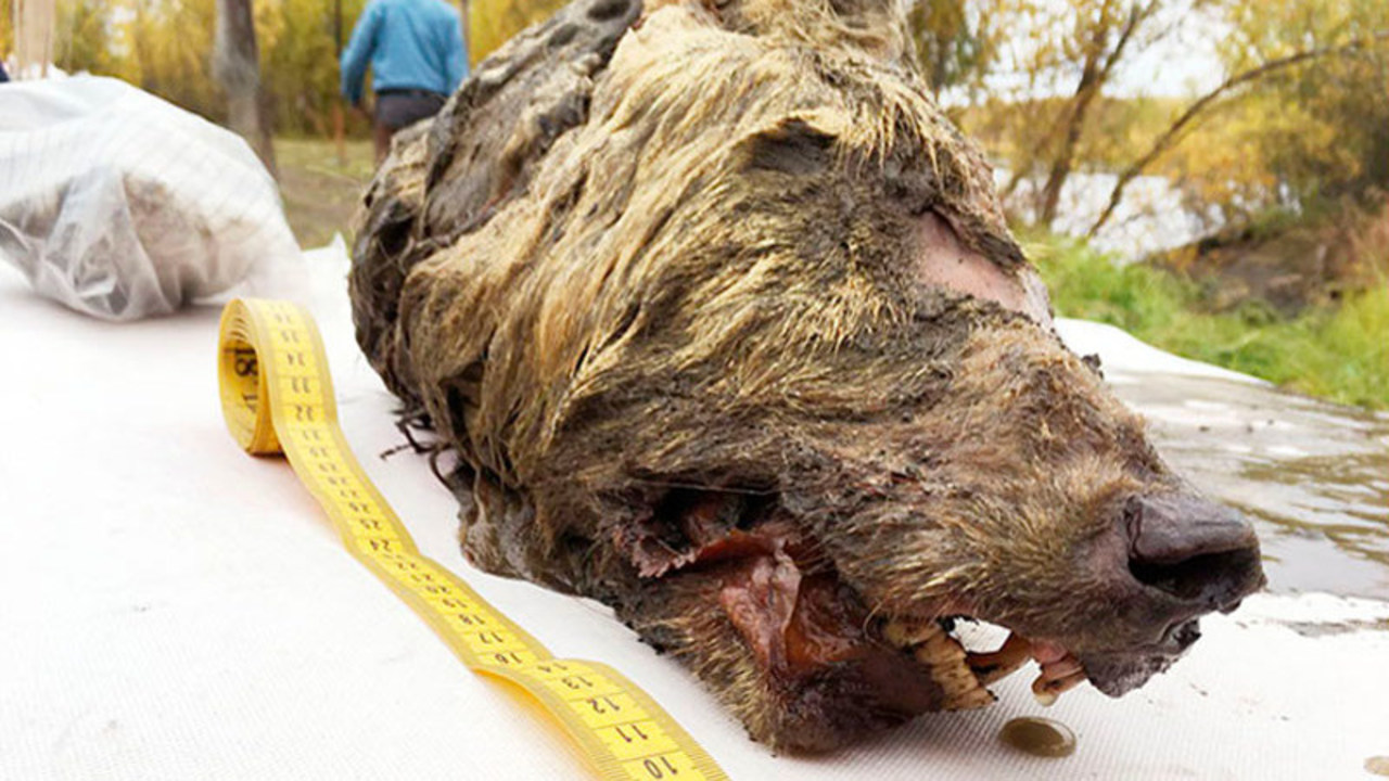 シベリアで巨大な犬の首が発掘される。3万年前のもの
