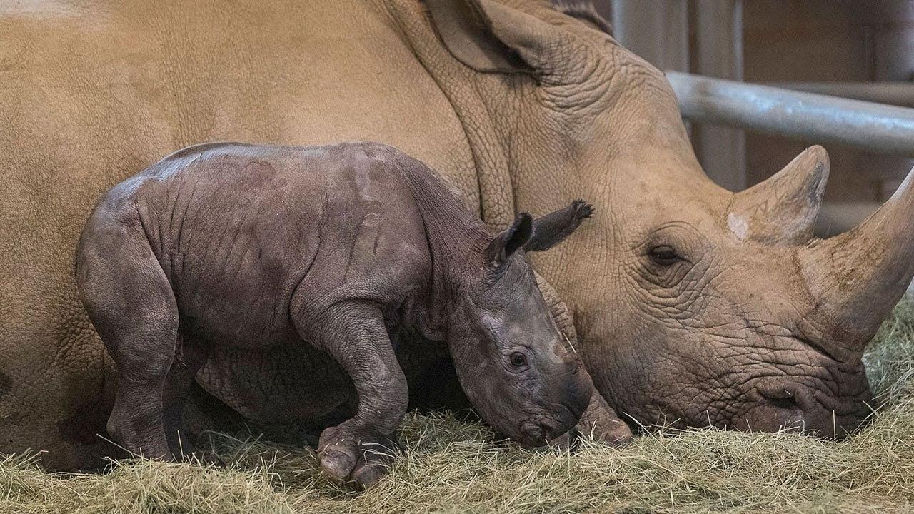 サンディエゴ動物園で人工授精のミナミシロサイの赤ちゃん誕生! これで絶滅寸前のキタシロサイを救えるかも!!
