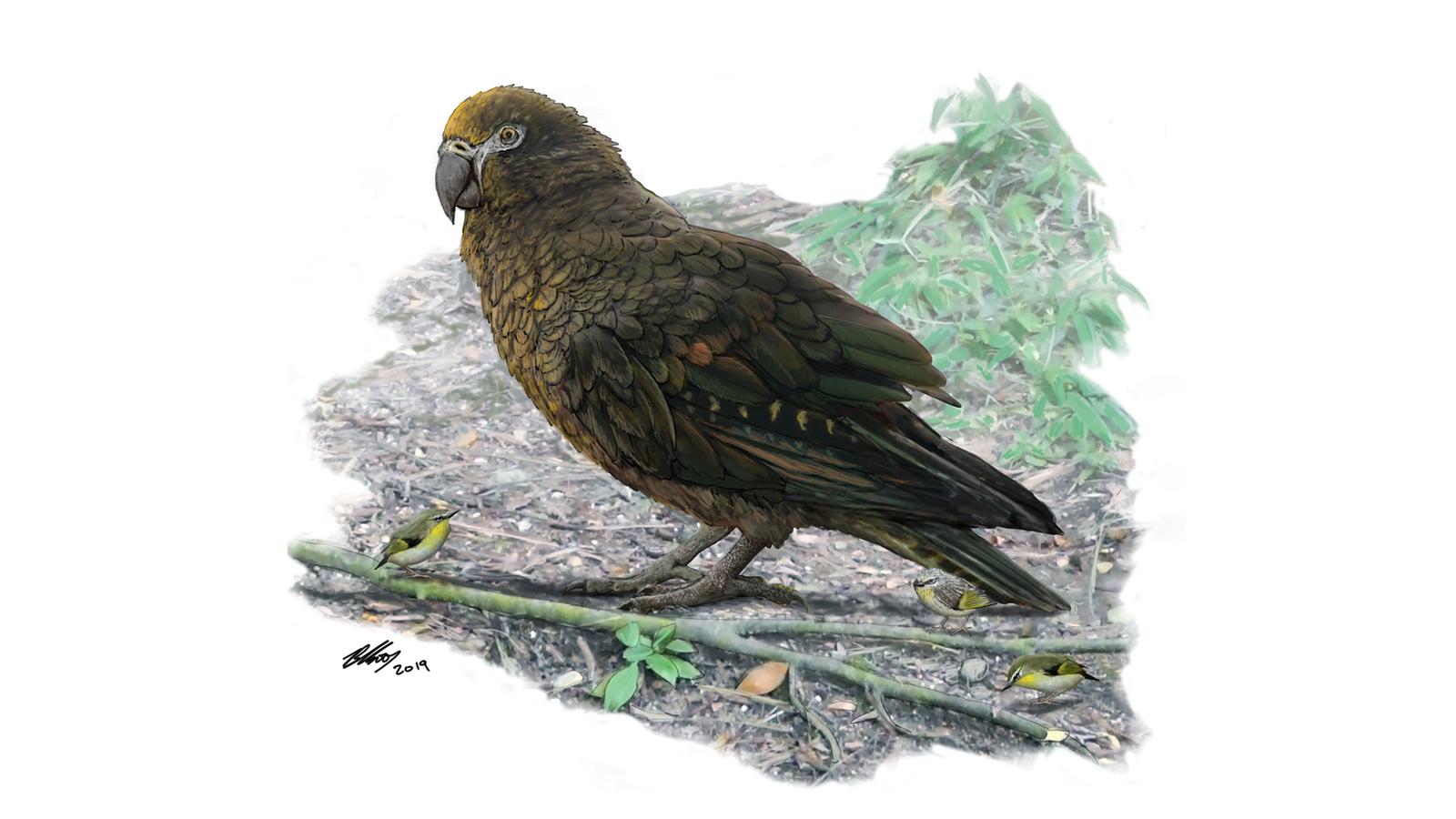 大昔は身長約0.9mのオウムがいたらしい。ニュージランドで化石発見